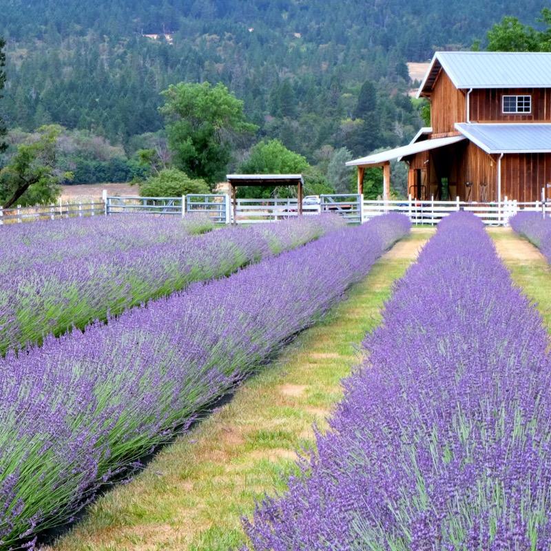 Medford Oregon Lavender Fields