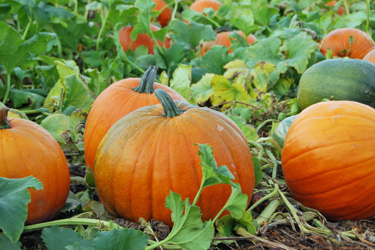 Rogue valley U-pick farms, agriculture in the rogue valley, things to do in Medford, fall fun, support local farmers, support local buisinesses, u pick, farming, pumpkins