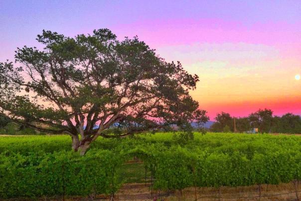 Sunset on a Southern Oregon vineyards