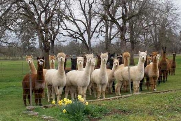 Alpacas at Lone Ranch in White City Oregon