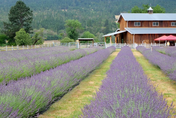 Lavender Fields Forever in Jacksonville Oregon