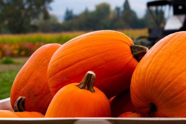 Pumpkins grown at Pheasant Farm