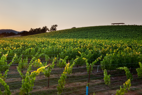 Sunrise over a vineyard in Southern Oregon